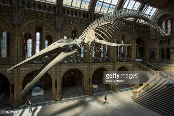 A blue whale skeleton forms the main exhibit at the Natural History Museum on July 13 2017 in London England The 126yearold skeleton named Hope...