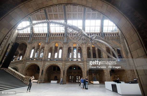 A blue whale skeleton goes on display in Hintze Hall at the Natural History Museum in London replacing Dippy the Diplodocus which will be going on a...