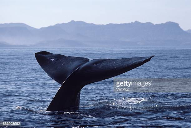Blue whaleBalaenoptera musculusThe tips of the flukes of this whale have been cut probably by predators Note also the prominent white...