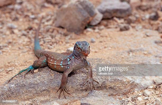 Blue whiptail lizard Cnemidophorus murinus ruthveni Netherlands Antilles Bonaire Bonaire Washington Slagbaai National Park Boka Chikitu