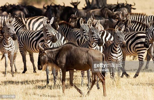 Blue Wildebeest and Common Plains Zebra Grumeti Tanzania