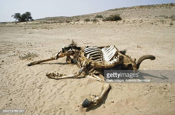 Blue wildebeest (Connochaetes taurinus) carcass on plain, close-up