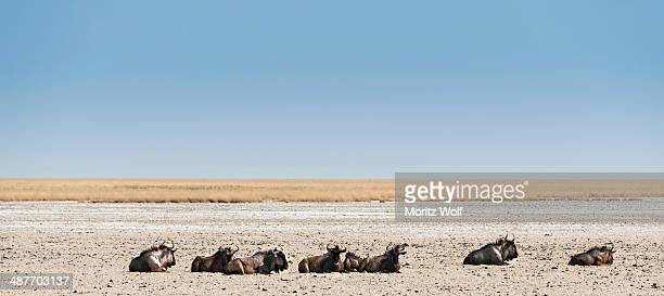 Blue Wildebeest -Connochaetes taurinus- lying in the midday heat, dried out waterhole at the edge of the Etosha Pan, Springbokfontein water hole, Etosha National Park, Namibia