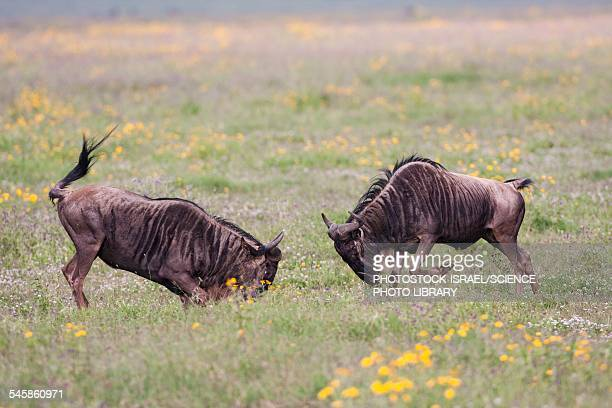 blue wildebeest connochaetes taurinus - photostock stock pictures, royalty-free photos & images