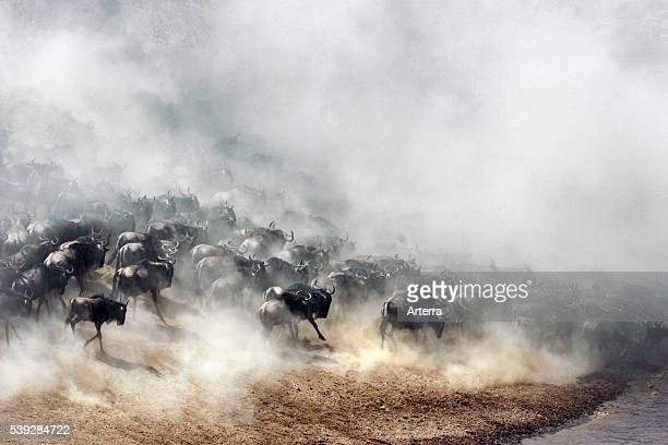 Blue wildebeest descending riverbank of the Mara River during migration Masai Mara National Reserve Kenya East Africa