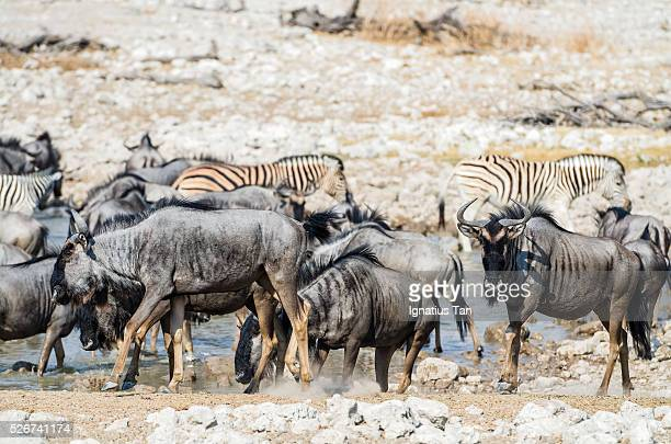 blue wildebeests at a waterhole in etosha, namibia - ignatius tan stock photos and pictures