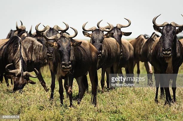 Blue Wildebeests (Connochaetes taurinus), Serengeti National Park, Tanzania