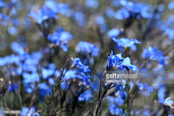 blue wildflowers blooming background - rafael ben ari - fotografias e filmes do acervo