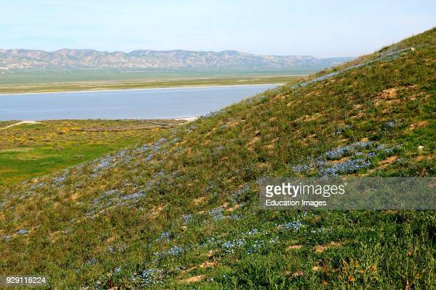 Blue wildflowers in spring in the grassland above Soda Lake in Carrizo Plain National Monument California