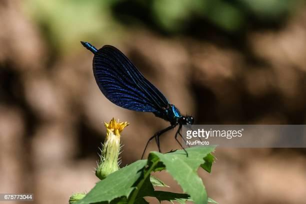 Blue winged male beautiful demoiselle an European damselfly in Eria on Euboea on May 1 2017