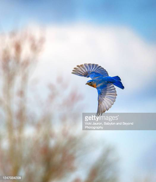 blue wings and blue sky at exton park, pennsylvania - 翼を広げる ストックフォトと画像