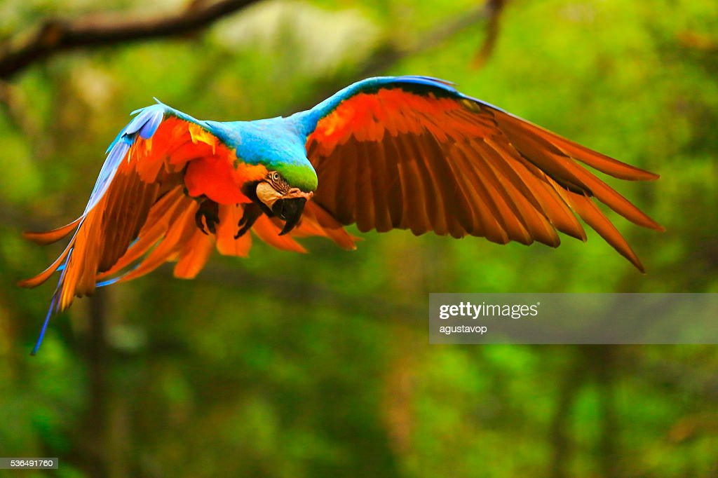Blue yellow macaw BIRD flying, spread wings, brazilian amazon rainforest : Stock Photo