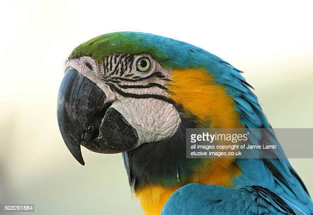 Blue & Yellow Macaw portrait side view