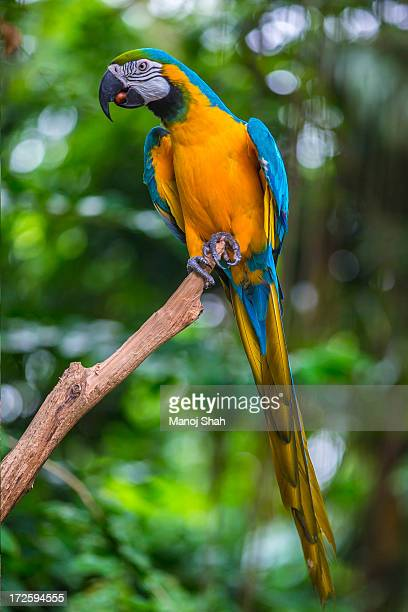 blue-and -yellow macaw - macaw stock pictures, royalty-free photos & images