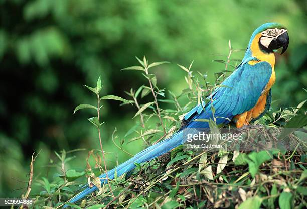 Blue-and-Gold Macaw Perched in Tree