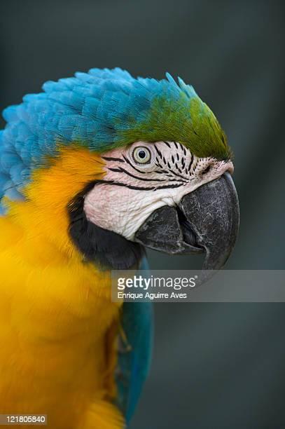 Blue-and-yellow Macaw (Ara ararauna), Central American Rainforest