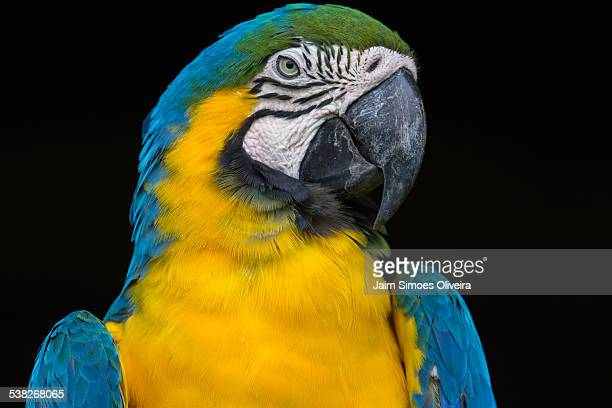 Blue-and-yellow Macaw Close-up