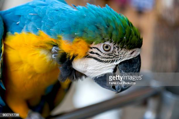 a blue-and-yellow macaw - wuhan city stock photos and pictures