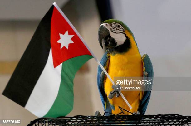 A blueandyellow macaw waves the Jordanian flag during a Pet Bird exhibition in the Jordanian capital Amman on October 27 2017 / AFP PHOTO / KHALIL...