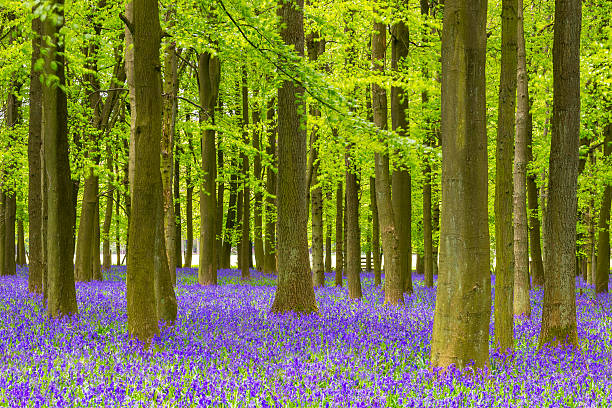 Bluebell and Beech Tree Forest