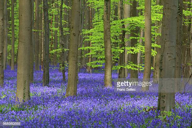 bluebell carpet, hallerbos, belgium - bluebell wood stock pictures, royalty-free photos & images