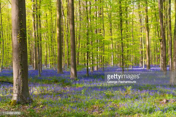 bluebell carpet in hallerbos forest, belgium - bluebell wood stock pictures, royalty-free photos & images