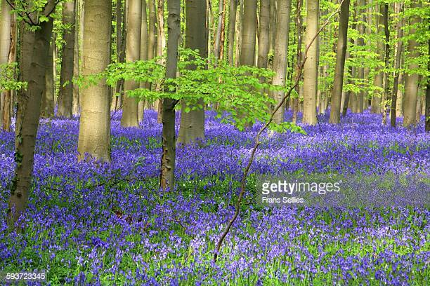 bluebell carpet in the hallerbos, belgium - bluebell wood stock pictures, royalty-free photos & images