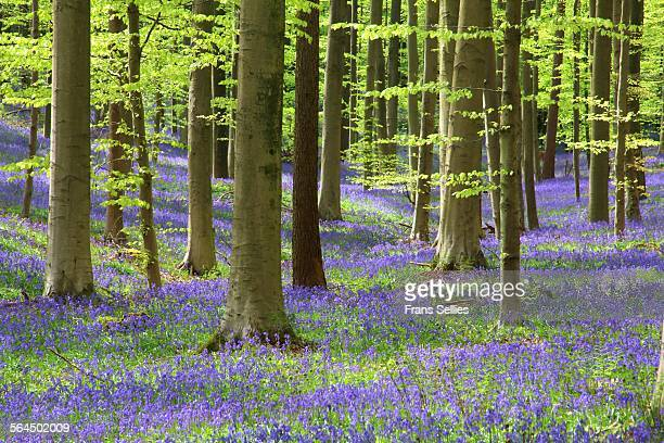bluebell carpet in the hallerbos - frans sellies stock pictures, royalty-free photos & images