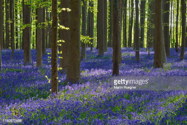 bluebell flowers (hyacinthoides non-scripta) carpet hardwood beech forest in early spring. halle, hallerbos, brussels, vlaanderen (flanders), belgium, europe. - belgië stockfoto's en -beelden