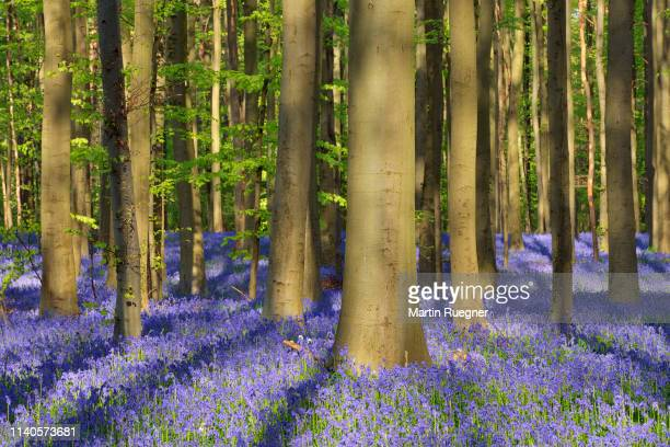 bluebell flowers (hyacinthoides non-scripta) carpet hardwood beech forest in early spring. halle, hallerbos, brussels, vlaanderen (flanders), belgium, europe. - capital region stock pictures, royalty-free photos & images