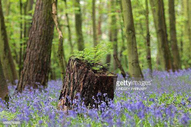 Bluebell flowers cover a woodland floor in Scunthorpe northeast England on April 25 2014 AFP PHOTO / LINDSEY PARNABY
