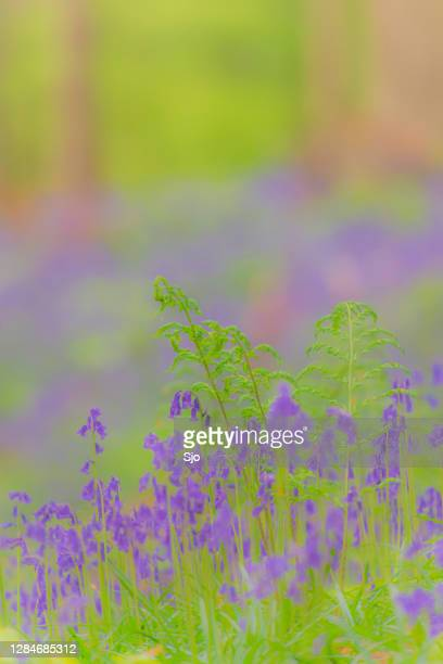 "bluebell flowers growing on the forest floor during springtime - ""sjoerd van der wal"" or ""sjo"" stock pictures, royalty-free photos & images"