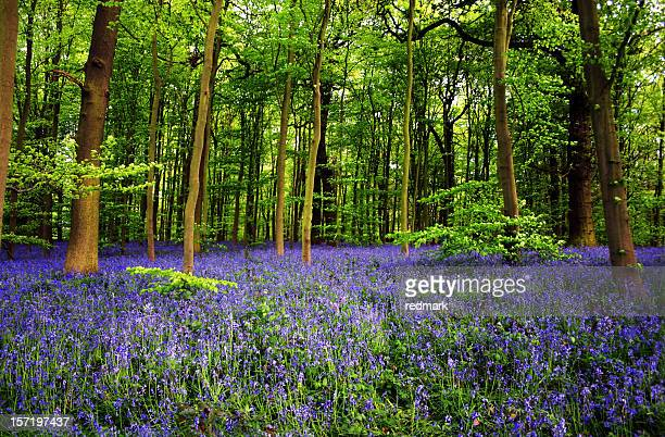 bluebell flowers in sherwood foest nottingham uk - nottingham stock photos and pictures