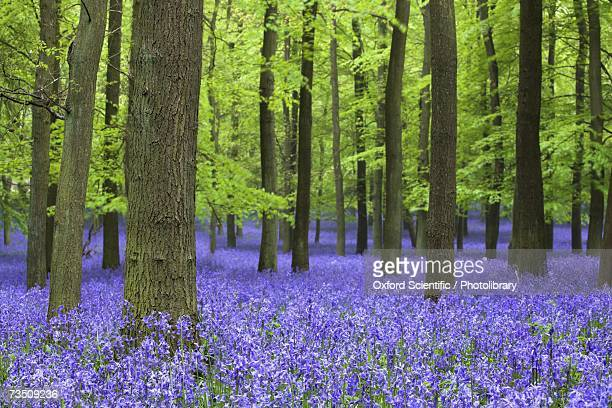 bluebell flowers in woodlands, ashridge estate, hertfordshire, uk, spring - hertfordshire stock pictures, royalty-free photos & images