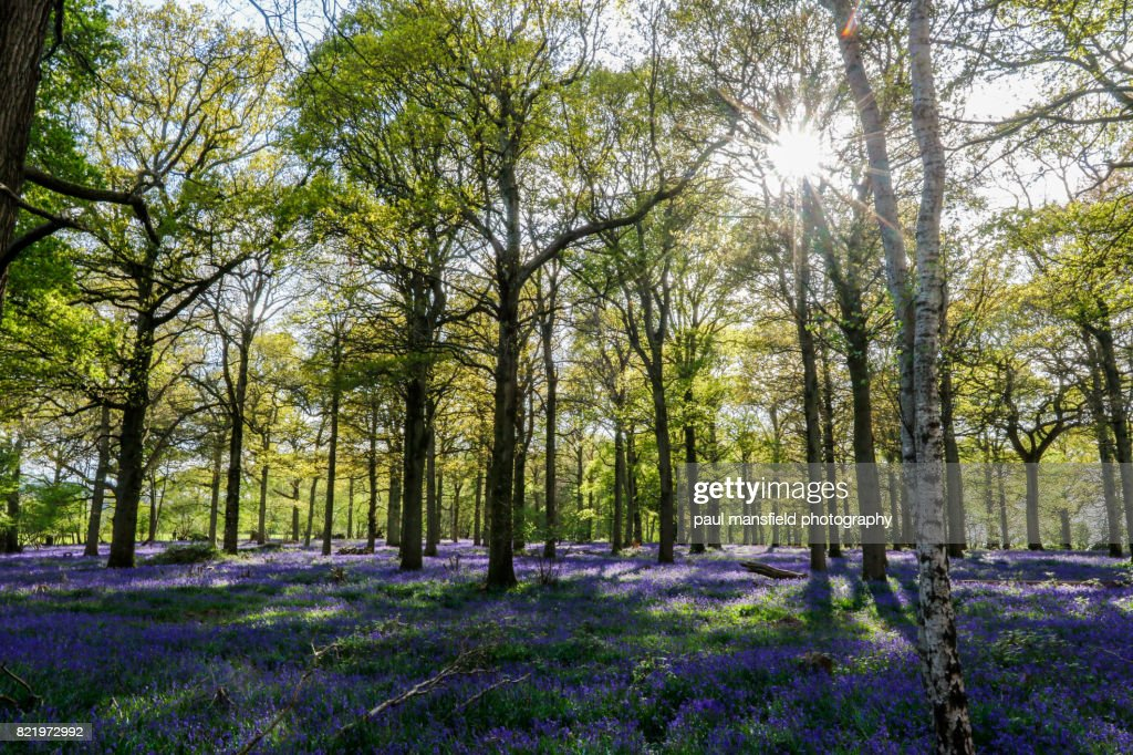 Bluebell forest : Stock Photo
