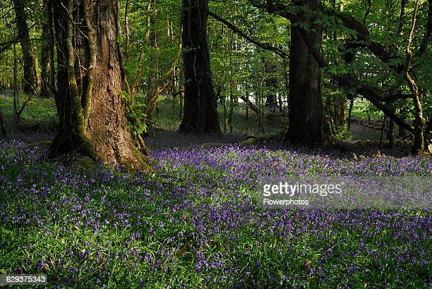 Bluebell Hyacinthoides nonscripta Lough Key Forest Park woodland with bluebells Ireland County Roscommon Boyle