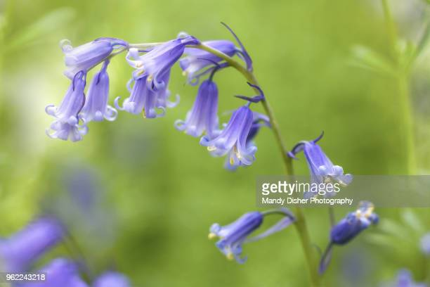 bluebell - bluebell stock pictures, royalty-free photos & images