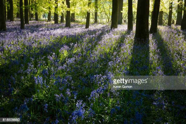 bluebell shadows - bluebell wood stock pictures, royalty-free photos & images