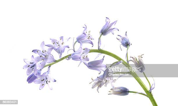 Bluebell Stem