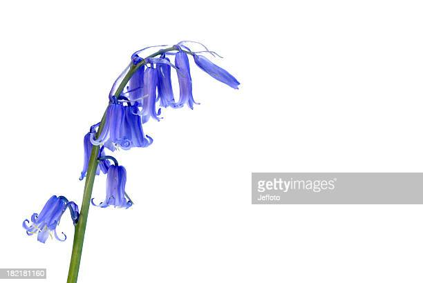 Bluebell wild flower