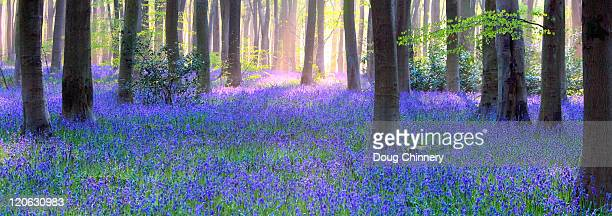 bluebell wood anorama - bluebell wood stock pictures, royalty-free photos & images