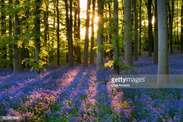 bluebell wood at coton manor - northamptonshire stock pictures, royalty-free photos & images