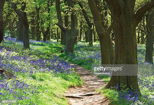 Bluebell wood Hyacinthoides nonscripta