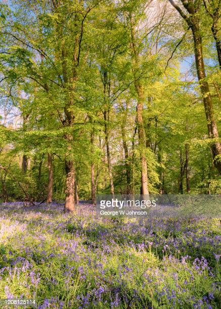bluebell wood ii - lush stock pictures, royalty-free photos & images