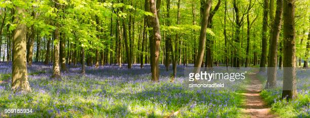 bluebell wood panoramic - bluebell wood stock pictures, royalty-free photos & images