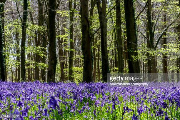 bluebell wood - bluebell wood stock pictures, royalty-free photos & images