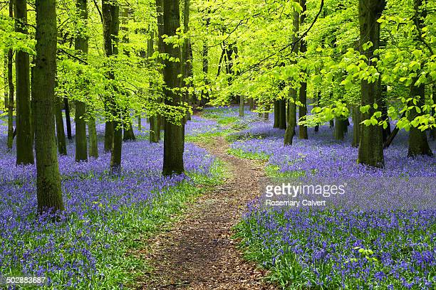 bluebell wood with winding path and beech trees - bluebell wood stock pictures, royalty-free photos & images