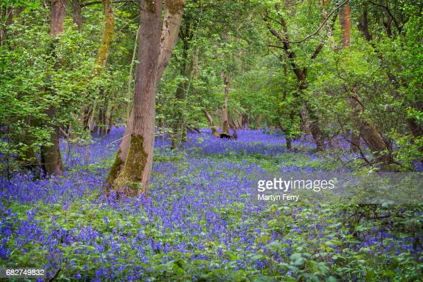 Bluebell Woodland, Brampton, Cambridgeshire, East Anglia, UK