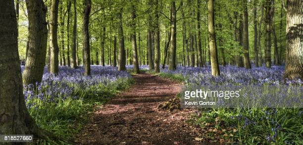 Bluebell woodland path