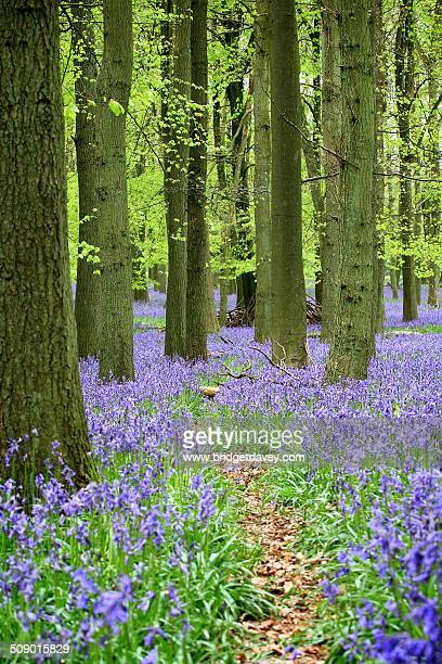 bluebell woods, buckinghamshire - bluebell wood stock pictures, royalty-free photos & images